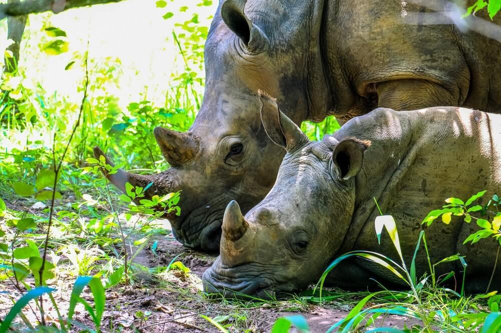 rinoceronte mitos medicina chinesa